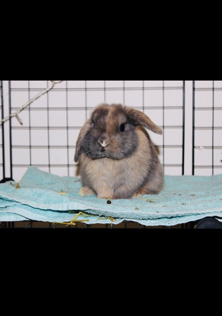 **Tess- Maryland** 2018 Easy and loving owners who breed beautiful baby  bunnies and give them to homes who want to embrace their cuteness and  loving ...
